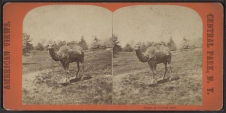 Camelsofcentralpark