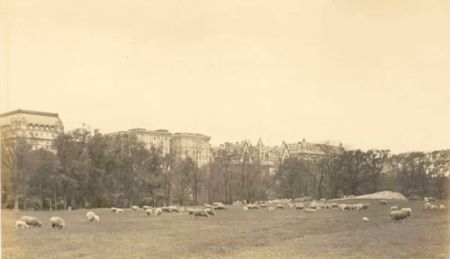 Sheepcentralpark1910